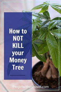 Check out these awesome tips that will help you to not kill your money tree! Keep it alive and beautiful for years to come! Money Tree Plant Care, All About Plants, Money Trees, Bedroom Plants, Low Lights, Indoor Plants, House Plants, Planter Pots, Awesome