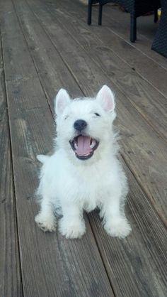 Westie puppy, Finley