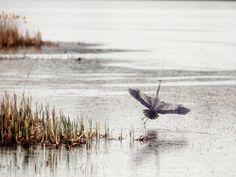 blue heronrain   Endless Wildlife
