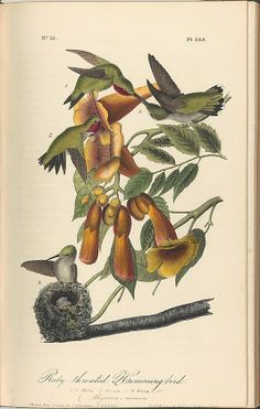 The Birds of America from Drawings Made in the United States After John James Audubon  (American, Haiti (Saint Domingue) 1785–1851 New York) Lithographer: John T. Bowen (American, ca. 1801–?1856) Publisher: J. B. Chevalier (Phildelphia, Pennsylvania) Publisher: John James Audubon (American, Haiti (Saint Domingue) 1785–1851 New York) 1840–44  lithography, hand-colored Dimensions: Overall: 10 7/16 x 6 11/16 in. sheet: 10 x 6 3/8 in. Bequest of Emma Sheafer, 1974 Accession Number…