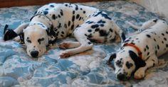 Sleeping Dalmatian pups