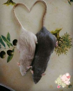 Rat Fan Club - Happy Valentine's Day
