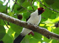 Foto cardeal-da-bolívia (Paroaria cervicalis) por Luciano Faria | Wiki Aves - A Enciclopédia das Aves do Brasil