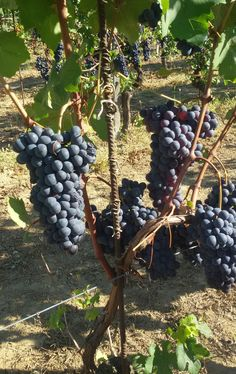 #Dogliani grapes in #summertime, before #harvest in #autumn. Exlcellent for #wine. #Italian #Food Joy love it. www.italianfoodjoy.de www.italianfoodjoy.com Ravioli, Harvest, Summertime, Landscapes, Joy, Autumn, Wine, Fruit, Gourmet