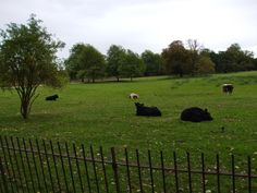 Mutual symbiosis between the cows and magpies at Christ Church.