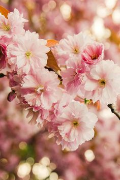 Cherry Blossom Wallpaper. #cherryblossom #spring #iphone #wallpaper