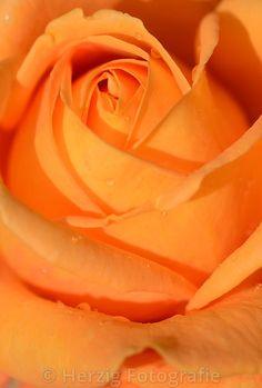 """Rosa """"Goldstein"""" - Rose"""