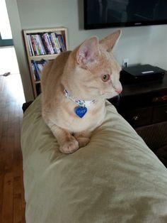 Lost Cat - Domestic Short Hair - Hamilton, ON, Canada