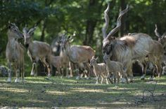 Turkmenian Flare-horned Markhors