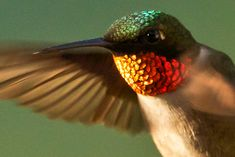 Feather Tailed Stories: Ruby-throated Hummingbird