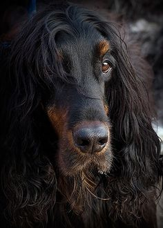 Mr. Dundee - The Gordon Setter is such a beautiful dog. | Piotr Organa