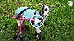 Goat Who Lost Her Legs Loves Her New Wheelchair