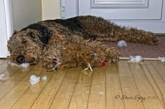 https://flic.kr/p/7jcUtt | Airedale Terrier | After destroying his toy Alfie has a little nap. :)
