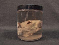 SQUIRREL HEAD SPECIMEN wet preserved real animal in jar