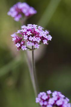 Verbena bonariensis, a must-have plant for pollinators.