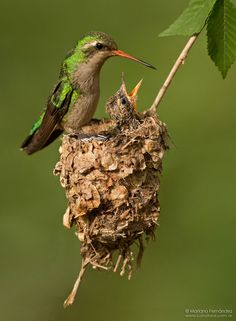 Glittering-bellied Emerald Hummingbirds A nest that built on a twig, this makes hummingbirds so special. loving it.