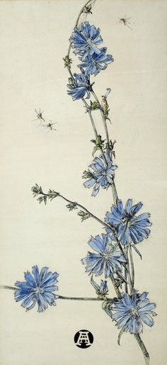 Anna Airy Succory Signed with monogram; bears title on a label on the backboard, watercolour and pen and ink Exhibited: London, Fine Art Society, Vintage Botanical Prints, Botanical Drawings, Botanical Flowers, Botanical Art, Tropical Flowers, Botanical Gardens, Art Floral, Botanical Illustration Black And White, Vintage Botanical Illustration
