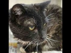 UNCLE BUCK is an adoptable Domestic Short Hair searching for a forever family near Santa Barbara, CA. Use Petfinder to find adoptable pets in your area.