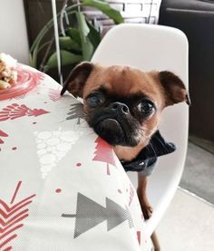 Yorkie, Chihuahua, Animal Pictures, Cute Pictures, Animals And Pets, Cute Animals, Brussels Griffon, Little Critter, Pugs
