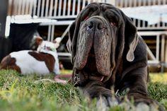 #animal #dog #pet #ugliestdog2017 #ugly #uglydog