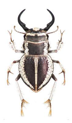 Calognathus chevrolati eberlanzi