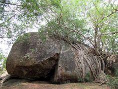 Banyan trees seem to be trying to engulf this huge stone at Thonigala near Anamaduwa, Sri Lanka. Sri Lanka, National Parks, Trees, Stone, Plants, Rock, Tree Structure, Flora, Batu