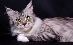 Silver Domestic Maine Coon Cat Wallpaper.  Maine Coon Cat Kittens is one of the largest domesticated breeds of cat.  #Maine #Coon #Cat #Kittens #Breed
