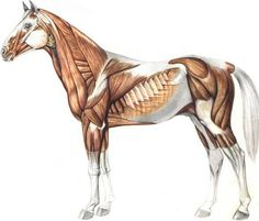 Anatomy Study 2016 for Horse Anatomy Inspired Horse Muscle Anatomy, you can see Horse Anatomy Inspired Horse Muscle Anatomy and more pictures for Anatomy And Physiology 23162 at Anatomy Learn.