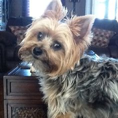 Looks like my other Yorkie named Ruby!