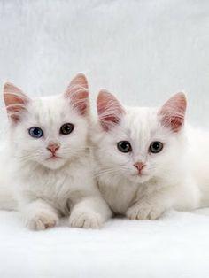 turksih angora | Turkish Angora Cat Breed Photos