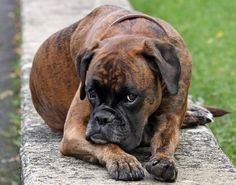 Brindle boxer from boxerdogpage.com