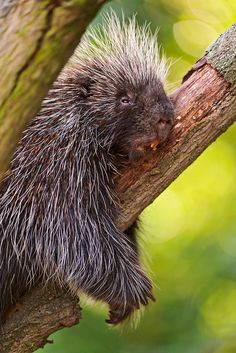 Cute north American porcupine in a tree    This cute but spiky animal was having a nap in a tree, against a branch!