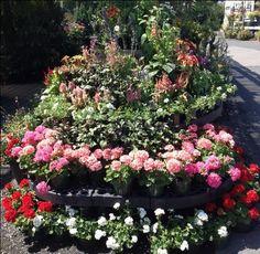 Summer display of geraniums. Geraniums, Display, Garden, Plants, Summer, Floor Space, Garten, Summer Time, Billboard
