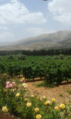 Chateau Kefraya vineyards, Kefraya, Bekaa Governorate, Lebanon