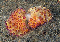 From Critters@Lembeh - WOW! Mating Purple-tipped Janolus Nudibranchs by Kay Wells