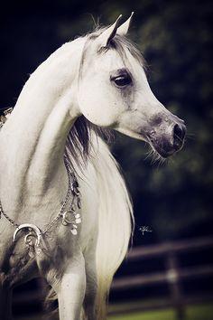 Arabian Horse Chiara K (Borsalino K x Robin K)