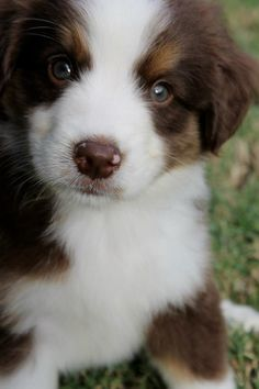 I really need a Chocolate Brown Mini Aussie to complete my life right now <3