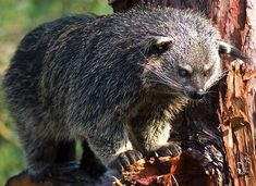 Binturong, or Asian Bearcat is neither bear nor cat. This endangered mammal is found in Southeast Asia. The Binturong is the only animal that smells like popcorn Interesting Animals, Unusual Animals, Rare Animals, Animals And Pets, Strange Animals, Reptiles, Mammals, Beautiful Creatures, Animals Beautiful