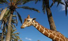 En #TuPlanCostaBlanca te ofrecemos disfrutar de una jornada mágica entre animales en el Río Safari Elche, que consta de paseos, visita guiada en tren, exhibiciones.. ¿Te lo vas a perder? #CostaBlanca Giraffe, Safari, Elopements, Trekking, Walks, Parks, Summer Time, Animales, Felt Giraffe