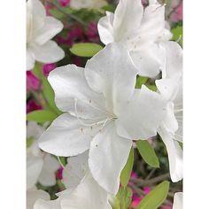おはよう、朝☁️ 月曜日の朝は忙しいわ。 昨夜、録画してたさんまさんの番組見たんだけど。 つっかけ、って下町の言葉だよね�� まさか全国的⁉️ 下町の言葉かと思ってたー。 うちのおばあちゃんも、つっかけって言ってたな��  今日も1日頑張ろう�� Have a lovely day��  #park #garden #gardenwalk #spring #flower #flowers #pic #amazing #heart #love #brilliant  #awesome #happy #beautiful #sky #sun #instagood  #instamood  #dope #red #redflower #instaphoto #instapic #instalike #flowerstagram #flowerslovers #gardening #flowerpower #instaflower #natural http://gelinshop.com/ipost/1514860340142234232/?code=BUF3XQKgVp4