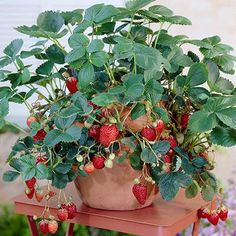Pick Strawberries for up to 4 Months! - The plant--a low-maintenance, high-yield favorite among strawberry lovers--is extremely popular due to its ability to produce well after spring ends. In fact, Everbearing Strawberries are often harvested as late as the first frost! That means that you'll enjoy delicious, juicy strawberries for...
