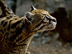 The ocelot has dappled fur that serves as camouflage in the jungles of South and Central America.