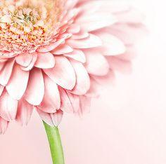 Petal Princess - Pale Pink Gerber Daisy