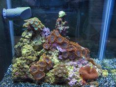 The Official Club Pico Thread - Page 5 - Pico Reefs - Nano-Reef Community Biorb Fish Tank, Retro Lighting, Palm Beach Gardens, Fish Tanks, Community, Club, Aquariums