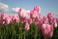 Do u know tulips represent as a women n motherly kind of growing......i luv the flower so much....... its an ancient medicine too.