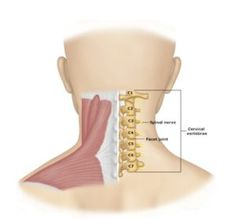 Neck Supporting Body Structures