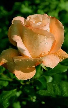 Raindrops just Love to Give lots of hugs to The Soft Petals of Life!.