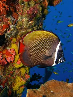 Collared #Butterflyfish