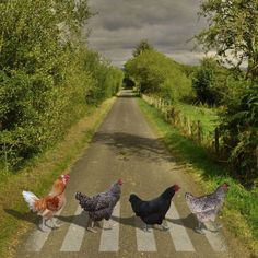 Chickens crossing the road (we don't know why but at least they are using the crosswalk)