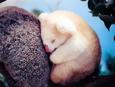 Baby Albino Koala is sleeping